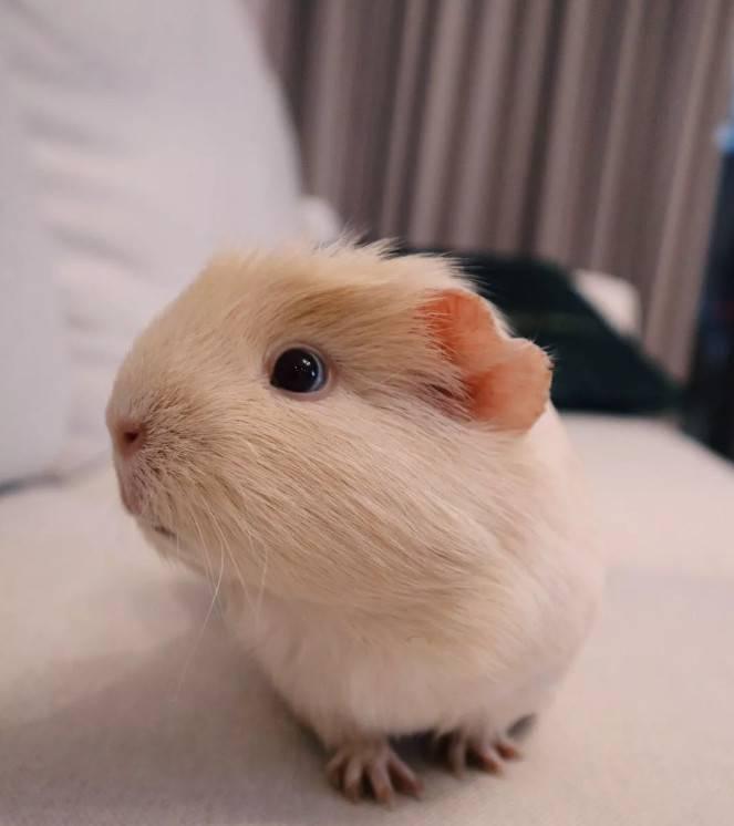 荷兰猪感冒了:荷兰猪打喷嚏最常见的就是荷兰猪感冒了,感冒导致不停的打喷嚏。感冒的荷兰猪,一般喂点板蓝根或者感冒冲剂就好