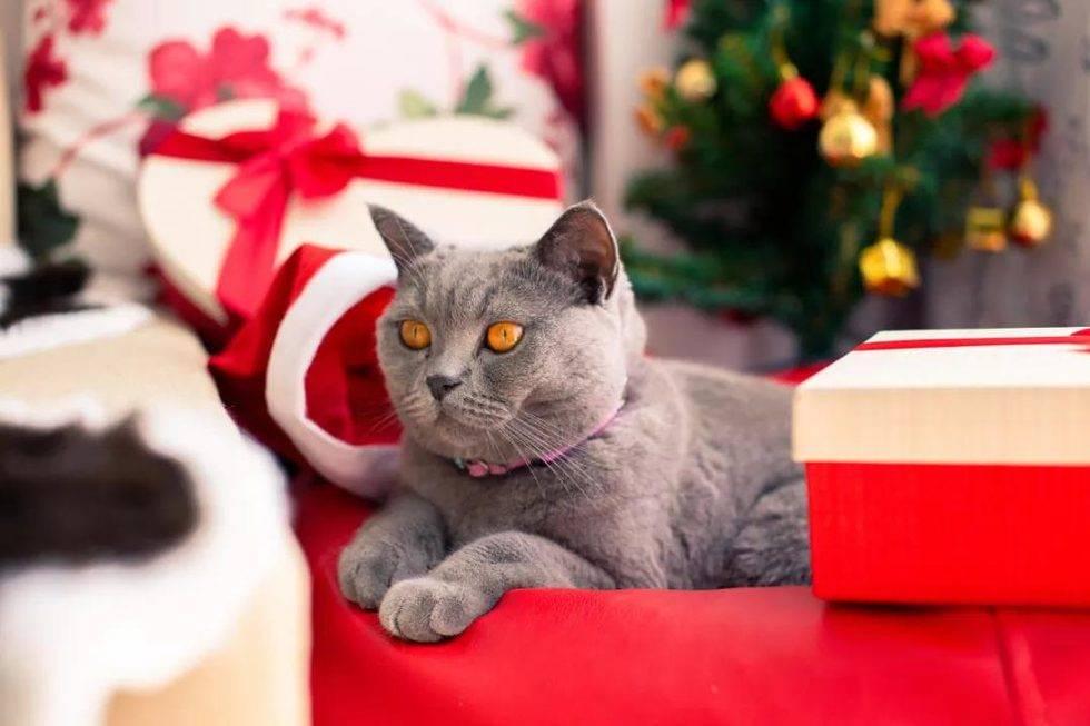 纯种猫基因的奥秘,猫的基因随公还是母多