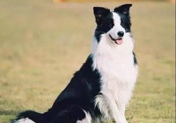 狗狗排名大全以及狗狗智商排名