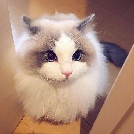 怎样给布偶猫科学的洗澡
