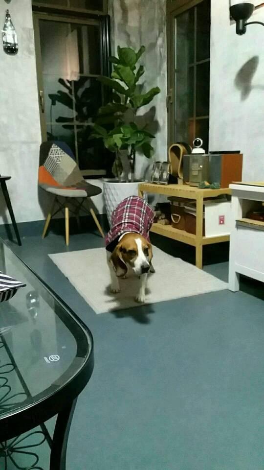 比格犬想麻咪了