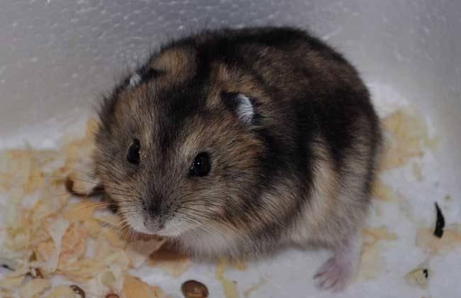 仓鼠咬笼子,仓鼠为什么咬笼子呢,用什么给它磨牙比较好?