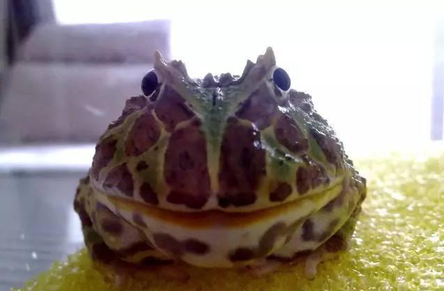 角蛙饲养需要注意些什么?