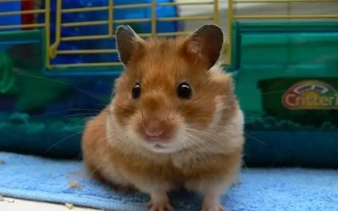 怎么养仓鼠,养仓鼠的注意事项和准备工作