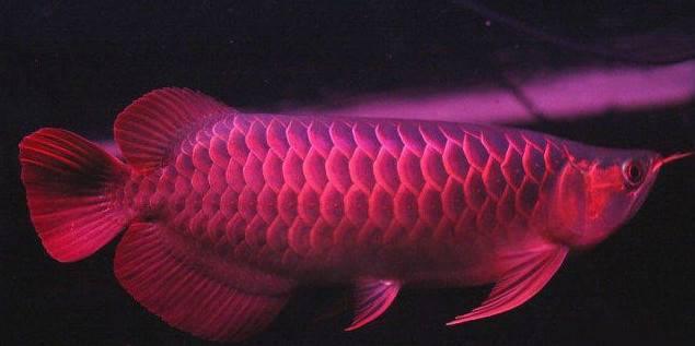 龙鱼品种及产地及类型划分