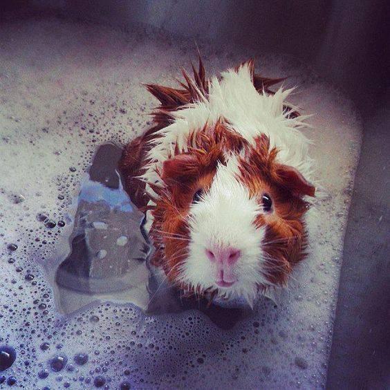 荷兰猪可以用什么洗澡?