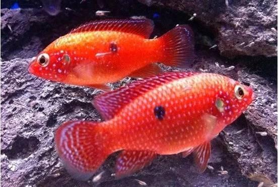 念念不忘的红宝石鱼,除了皮实好养,还偷了我的感情