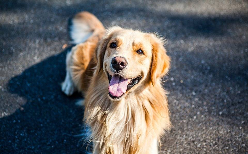 金毛寻回犬, 可爱, 萌, 动物肖像