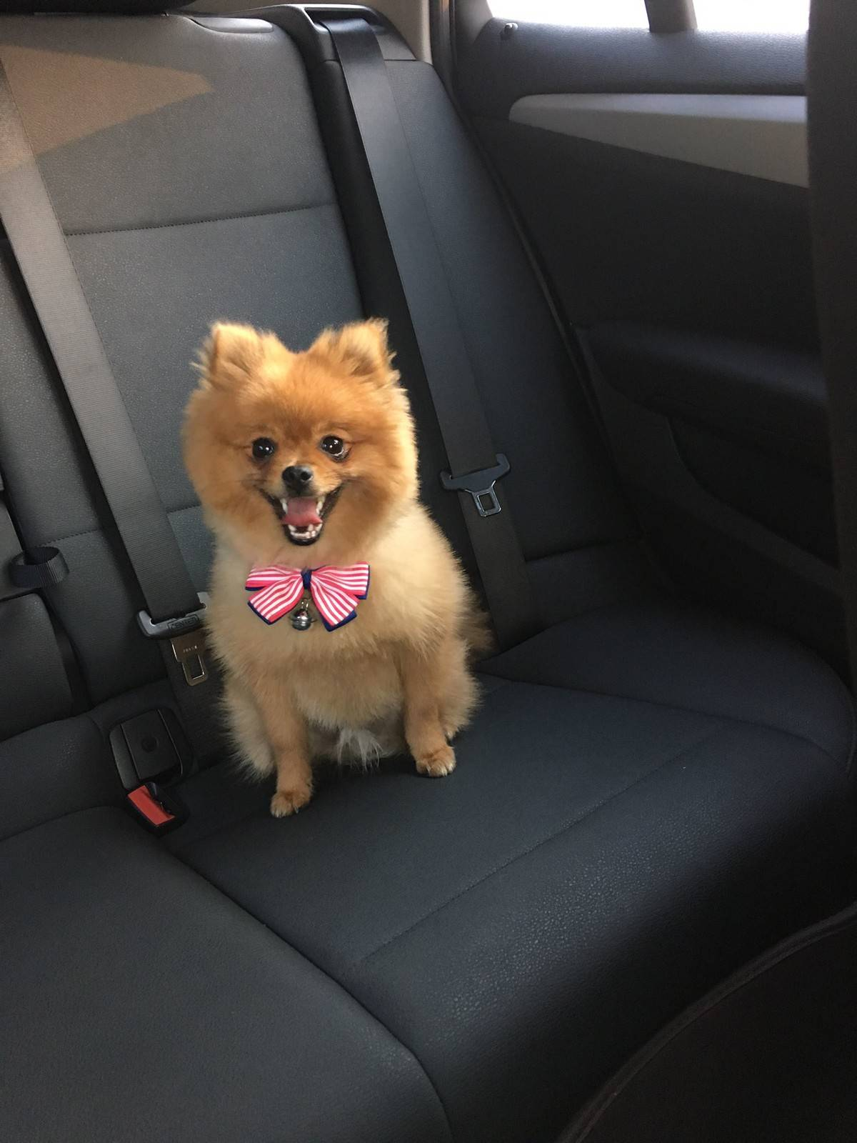 博美狗狗得了细小病毒的治疗经历