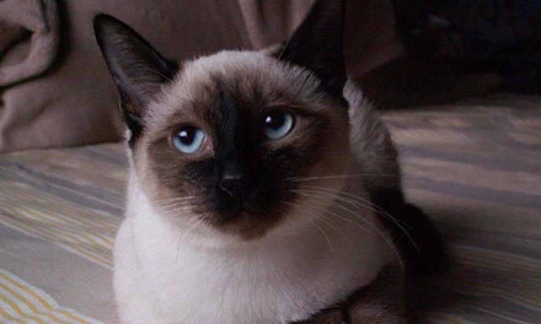 如何选购一只健康的暹罗猫以及需要的用具