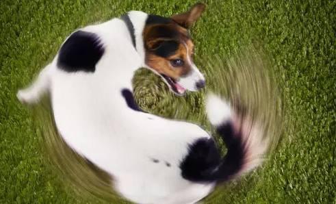 狗狗咬尾巴,狗狗为什么咬自己的尾巴