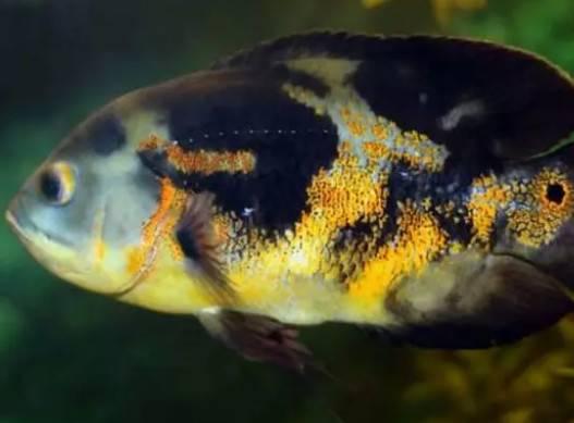 最适合新手养的三类观赏鱼,大中小型观赏鱼都涵盖了,总有你爱的
