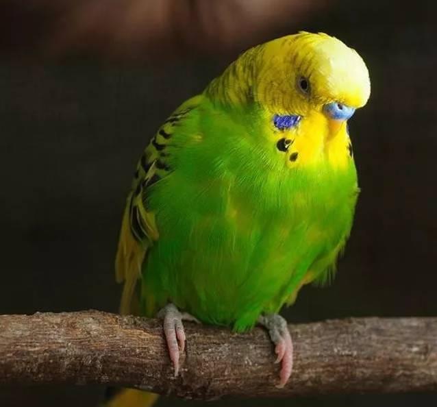 虎皮鹦鹉性价比高,因此受到大众欢迎,可爱的它们到底该如何饲养