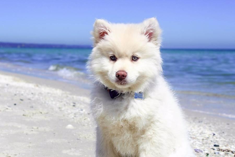 这是什么狗,像不像萨摩耶犬
