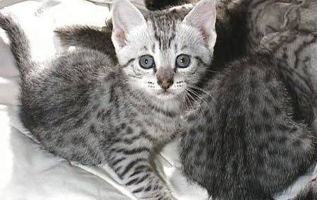 猫咪肾衰竭症状