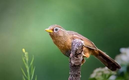 如何为画眉鸟熟鸟提性