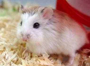 仓鼠是老鼠吗