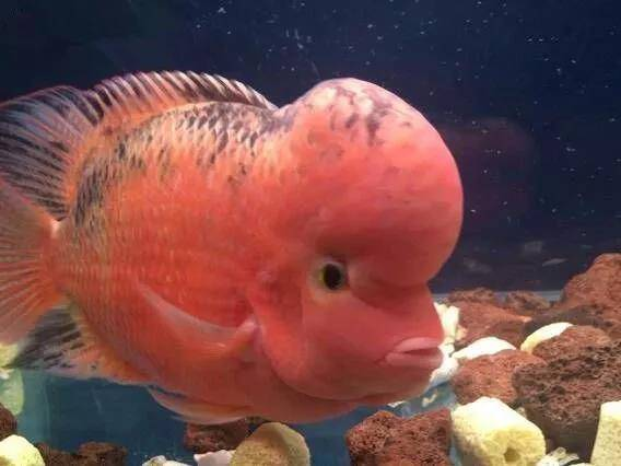 德萨罗汉鱼退沙条件