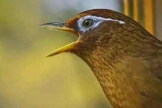 画眉鸟眼睛图片解说,画眉鸟眼睛的深浅决定鸟的本性?