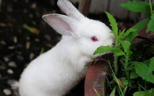 兔兔为什么会突然扑向主人