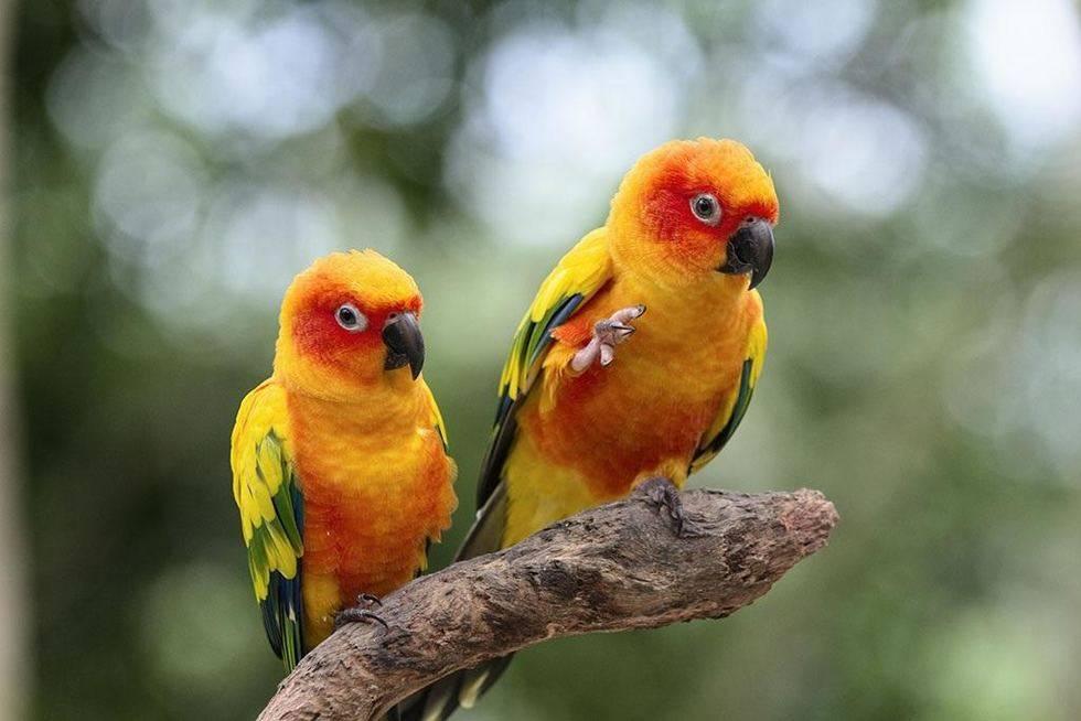 鹦鹉的营养需求之钙磷篇