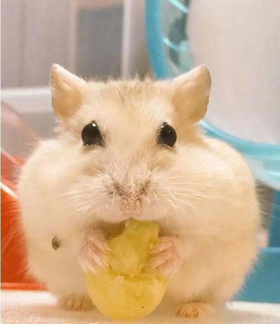 仓鼠弱小,无助,但能吃~