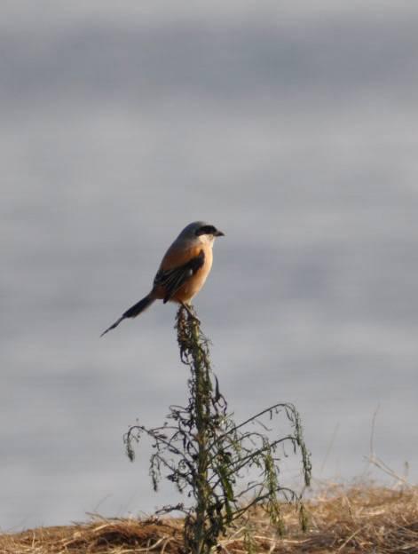 在回家的路上巧遇伯劳鸟记录下了这一时刻。