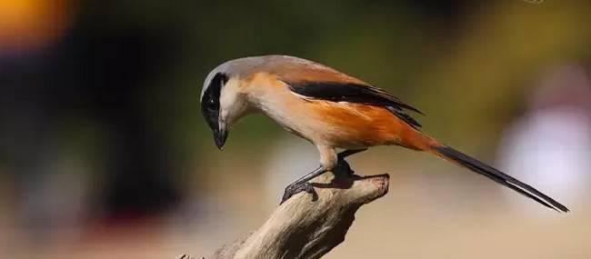 伯劳怎么饲养, 野生伯劳鸟怎么驯养