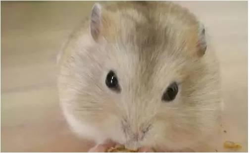 仓鼠藏食和挑食有什么区别