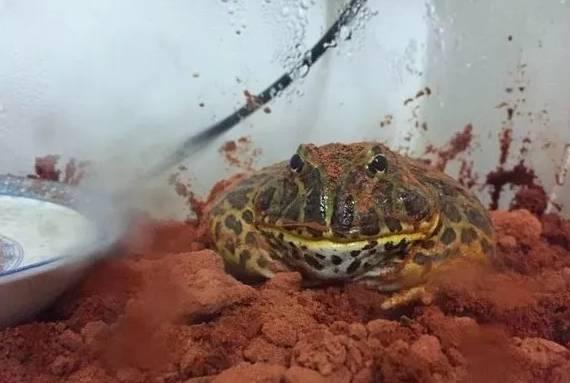 关于角蛙如何土养——土养经验心得分享!