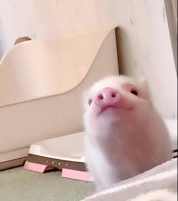 日本第一家迷你猪咖!