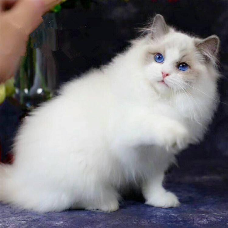 布偶猫为什么不能养?实际的情况是这样的