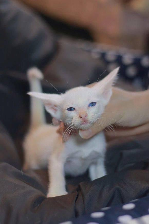 东方猫相比其他猫咪,东方短毛猫有着超大的招风耳,且表情中无时无刻不流露着一丝抑郁与忧伤