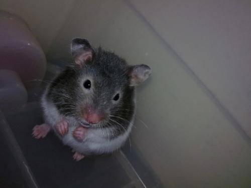 仓鼠吃什么食物,仓鼠吃什么东西会死?
