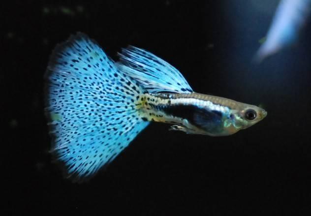 说说孔雀鱼怎么养?春季养孔雀鱼的小注意