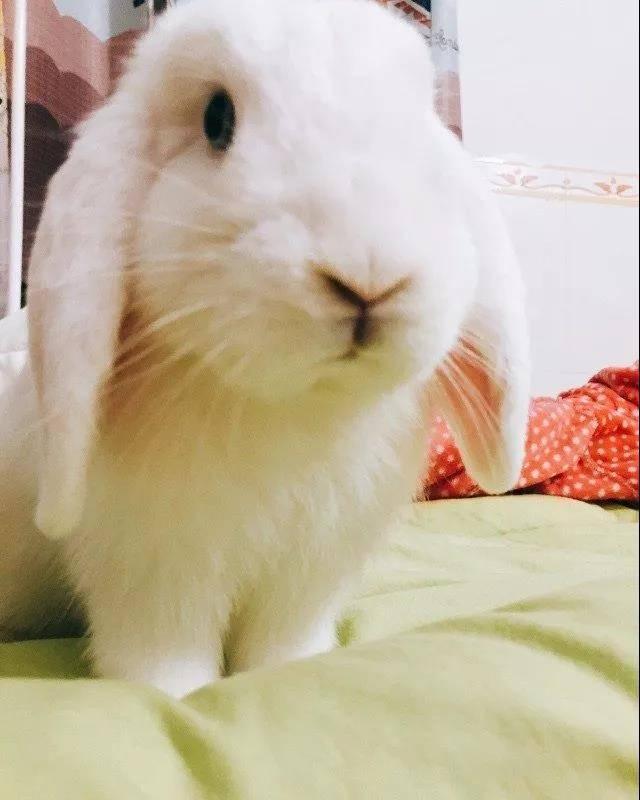 岁月真是一把杀猪刀,当年乖巧可爱的兔子已经变成了顽皮的牛头梗