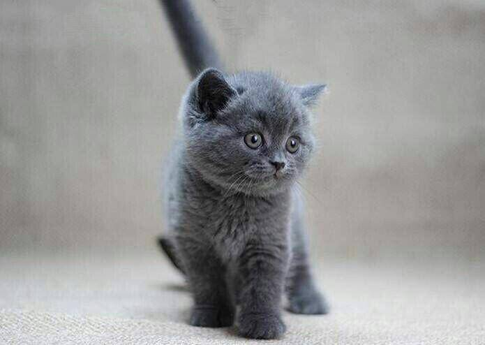英短蓝猫养多大会发腮