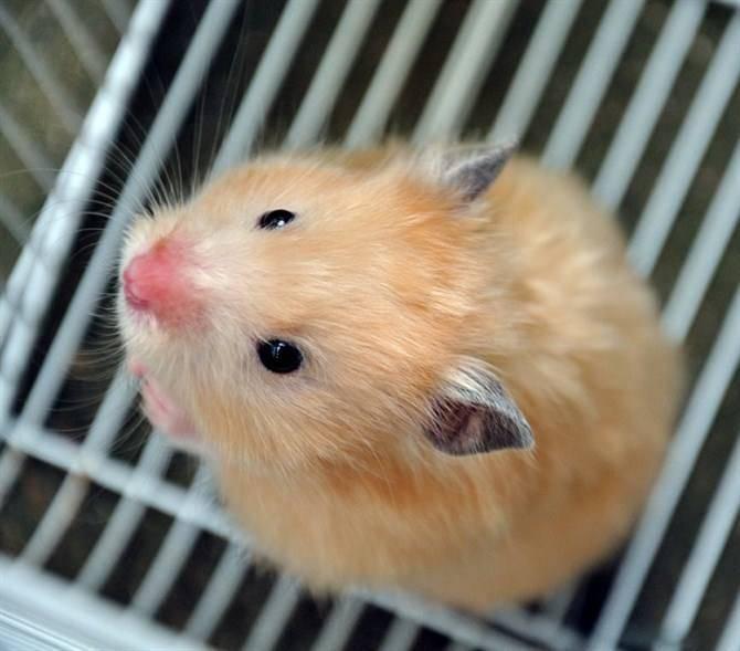 仓鼠繁殖的误区都有哪些?
