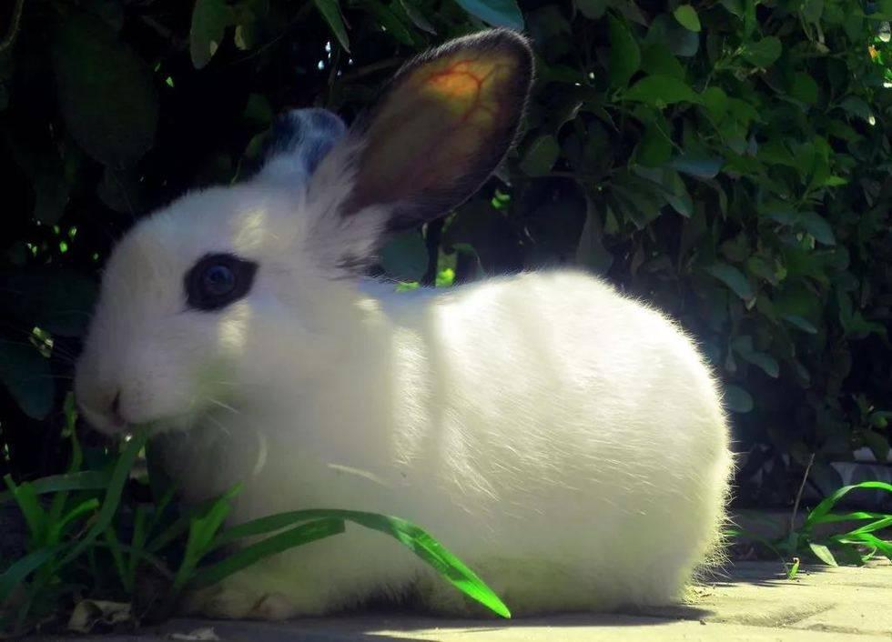 兔疥螨会传染,兔子散养需谨慎!