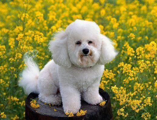博美犬和比熊犬的区别,不仅仅是外形上的