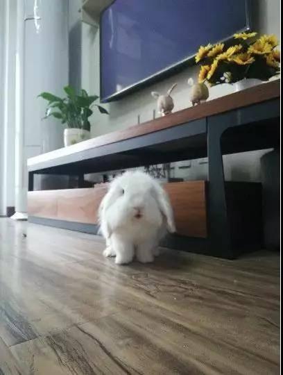 哇哇:垂耳兔怎么这么可爱被萌得惊呆了