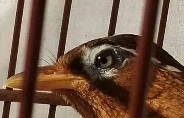 """如何让被""""叫落""""的鸟,恢复鸣叫?"""
