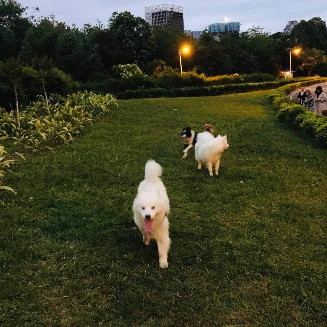 一下班就是萨摩耶犬活动时间