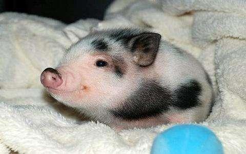 纯种小香猪不是大肥猪