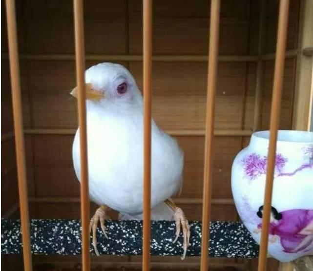 典雅、秀丽,中和美色,素肌玉骨,黄承天德,惊才绝艳,真正的极品宫廷画眉鸟!