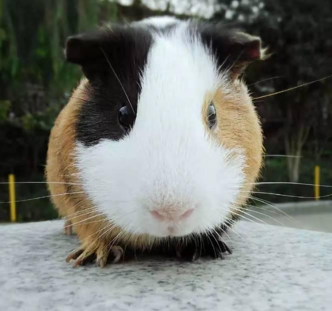 荷兰猪感冒怎么办?荷兰猪感冒症状及治疗