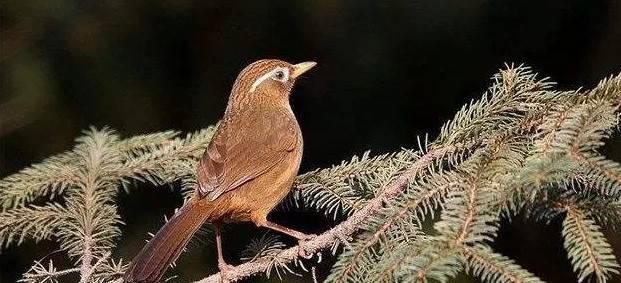 过冬如何饲养画眉鸟