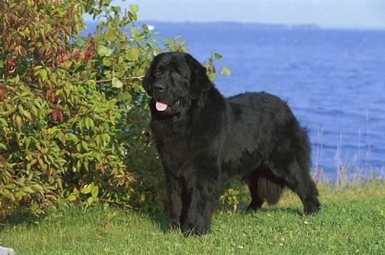 纽芬兰犬产后饲养护理要点