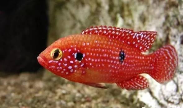 红钻石鱼,整个鱼体像一块红宝石