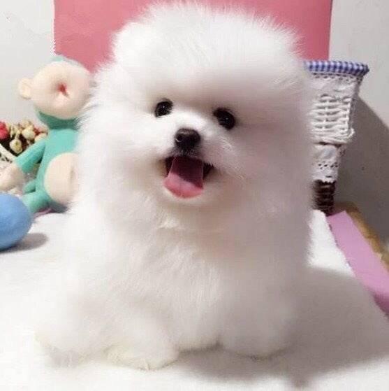 可爱聪明伶俐活泼小博美犬/呲牙